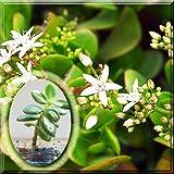 Live Plant - Jade Tree - Crassula Ovata Lucky Dollar Succulent Money Tree Pot Plant